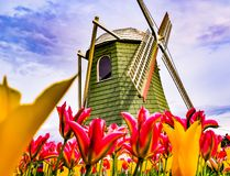 Tulip fest Windmill in Washington royalty free stock image