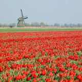 Windmill with tulip field Royalty Free Stock Images