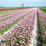 Windmill with tulip field stock photos