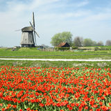 Windmill with tulip field Stock Image