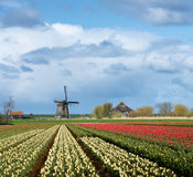 Windmill with tulip flower fields in the countryside Stock Photo