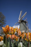 Windmill and tulips, Netherlands. Windmills and tulips on a sunny day in spring Royalty Free Stock Photography