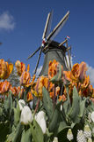 Windmill and tulips, Netherlands. Windmills and tulips on a sunny day in spring Royalty Free Stock Photos