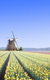 Windmill at the Yellow Tulip Bulb Farm Royalty Free Stock Image