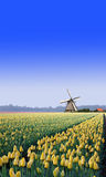 Windmill at the Yellow Tulip Bulb Farm Stock Photo