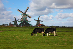 Windmills  and cows in museum village Royalty Free Stock Images