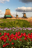 Windmills in Holland. Traditional Dutch windmills with red tulips close the Amsterdam, Holland Stock Photos
