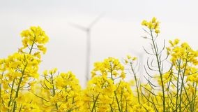 Windmills rotating during windy spring cloudy day. On yellow field with oil rape seed closeup, playing with depth of field and focus stock footage