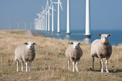 Windmills and sheep. Curious sheep grazing at the with a long row of windmills in the sea stock photo