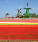Windmills and tulip field Royalty Free Stock Photo