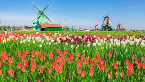 Windmills with tulips in ethnographic museum Zaanse Schans, Netherlands. Several windmills in the ethnographic open-air museum Zaanse Schans with a multicolored stock image