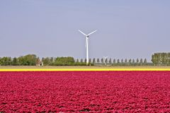 Windmills and tulips: typical dutch Stock Photo
