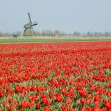 Windmolen met tulpengebied Royalty-vrije Stock Afbeeldingen