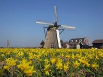Windmolen op gebied van gele narcissen in Holland Royalty-vrije Stock Afbeeldingen
