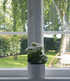 Window. White flowers in flowerpot at window - springtime royalty free stock image