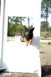Through the window. Police dog in training Stock Photos