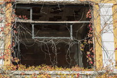 Window of abandoned house with climbing plant in autumn royalty free stock images