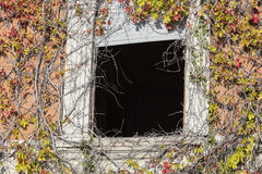 Window of abandoned house with climbing plant in autumn stock images