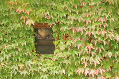 Window behind ivy Stock Images