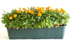 Window Box. Flower box with yellow marigold stock photography