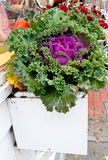Window box with flowering cabbage Royalty Free Stock Photos
