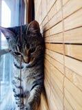 Window cat. Cat in window blinds Stock Photo