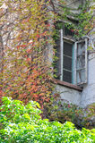 Window and color leaves. Red and green leaves surround windows of aged building, shown as a kind of living environment, harmonious color and shape Royalty Free Stock Photos