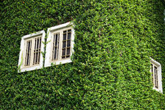 Window covered with green ivy Stock Image