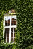 Window covered with green ivy Royalty Free Stock Photos
