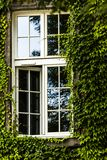 Window covered with green ivy Stock Photography