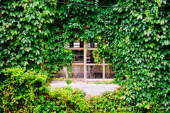 Window covered with green ivy Royalty Free Stock Photo