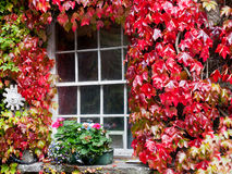 Window covered with red leaves ivy Stock Images