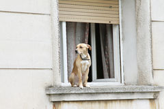 Window dog Royalty Free Stock Image