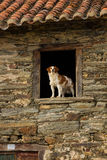 A Window Dog leaning wing House Stock Images
