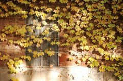 Window with Fall ivy. Window with colorful ivy in fall royalty free stock photo
