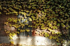 Window with Fall ivy. Window with colorful ivy in fall stock photography