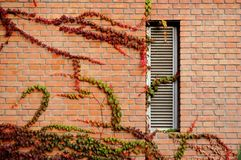 Window with Fall ivy. Window with colorful ivy in fall stock photos