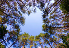 Window of firs Stock Photo