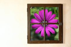 Window and Flower. Purple flower in small paned window Stock Photo