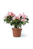 Window Flower Royalty Free Stock Photo