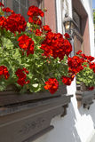 Window Flower Box. Geraniums decorate windows in a German town Royalty Free Stock Photo