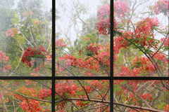 Window frame with full bloom of flame tree flowers or peacock fl Royalty Free Stock Photo