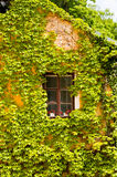 Window framed by the vine, Orlik Castle Royalty Free Stock Photo