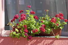 Window with geranium flowers Royalty Free Stock Photography