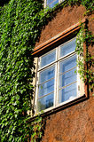 Window with green ivy Stock Photography