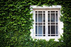 Window and green ivy Stock Photo