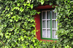 Window with green leafs. Facade of a house covered with ivy Royalty Free Stock Images