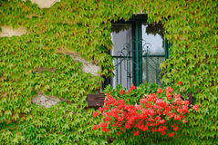 Window grown with an ivy. Window of an old building with flowers and grown with an ivy Stock Photo
