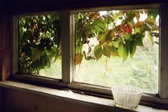 Window indoor old village house green leaves summer day sunlight. Window indoor old house village summer green plants liana leaves wood wall royalty free stock image