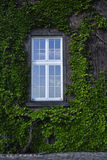 Window with ivied Royalty Free Stock Photography